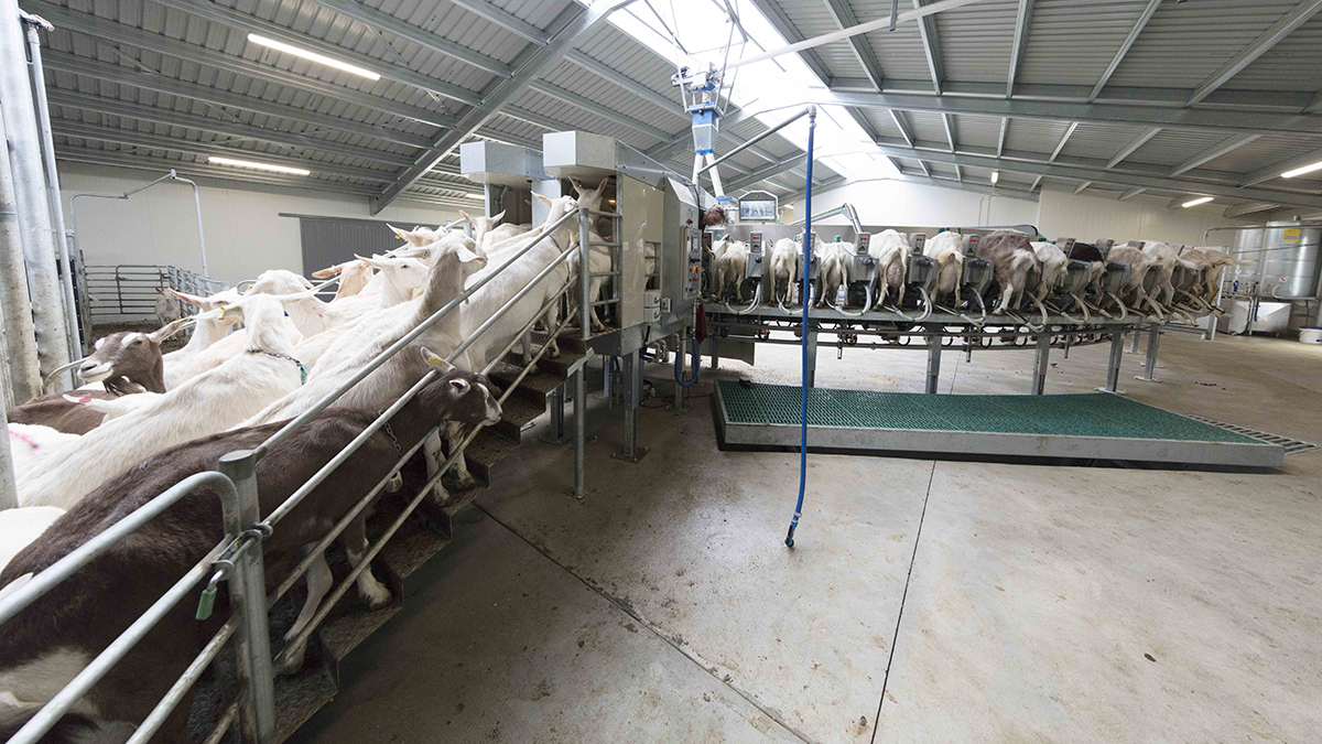 Sheep and goat rotary milking parlour external