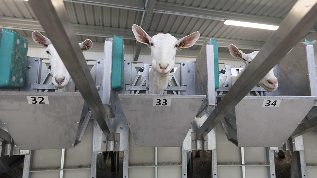 Sala de ordeño rotativa externa para ovejas y cabras