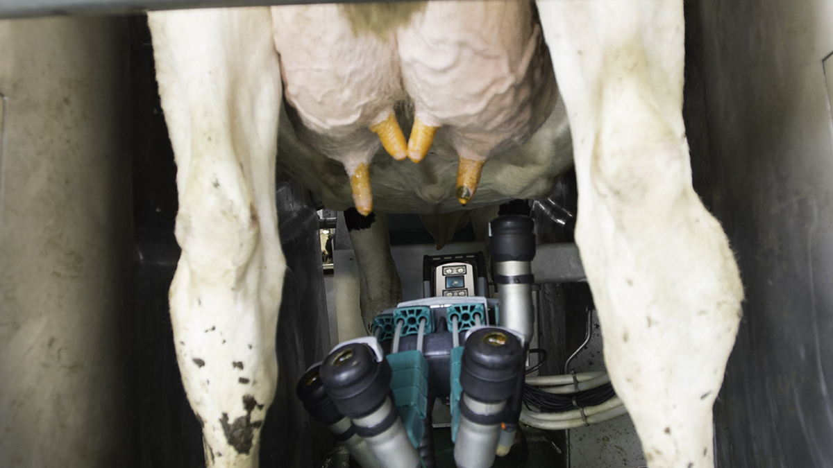Teats dipped - GEA Milking Robots