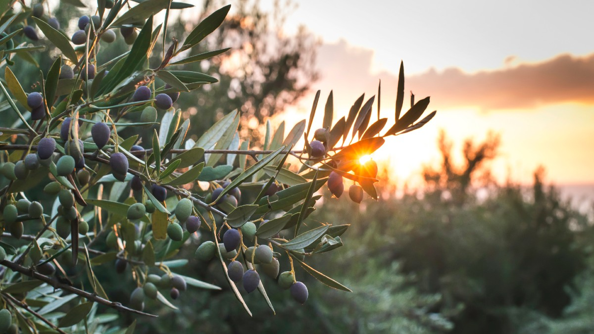 The new Olibest olive oil mill will allow a capacity of up to 1.5 million kilos of olives per day.